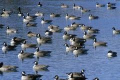 Flock av änder på dammet, Pierre, SD Royaltyfri Bild