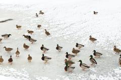 Flock av änder på is i den djupfrysta floden Fotografering för Bildbyråer