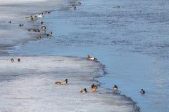 Flock av änder på isen royaltyfri bild