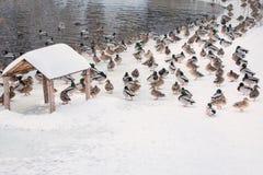 Flock av änder på snön Arkivfoton