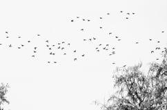 Flock av änder Silhouetted mot en vit bakgrund Royaltyfria Bilder