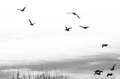 Flock av änder Silhouetted på en vit bakgrund Arkivbilder