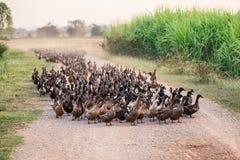 Flock av änder som går på grusvägen i koloni royaltyfria foton