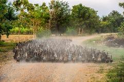 Flock av änder som samlas på grusvägen arkivfoto