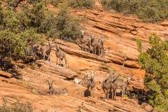 Flock av ökenBighornfår royaltyfri foto