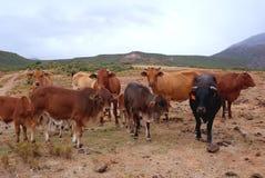 Flock av afrikanBoran nötkreatur arkivbild