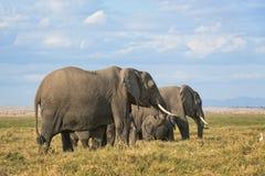 Flock av afrikanBush elefanter Arkivfoto