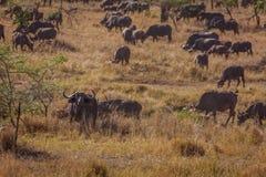 Flock av afrikansk buffelmatning Arkivfoton