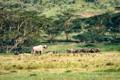 Flock av afrikanska bufflar i savannah Royaltyfria Bilder