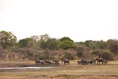 Flock av afrikanska buskeelefanter Royaltyfri Foto
