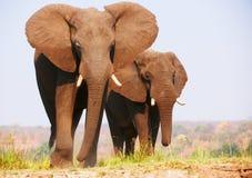 Flock av afrikanska elefanter royaltyfria foton