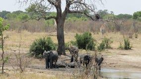 flock av afrikanska elefanter och giraff på waterhole lager videofilmer