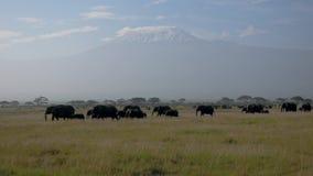 Flock av afrikanska elefanter på slätten med akaciabakgrund av Mount Kilimanjaro lager videofilmer