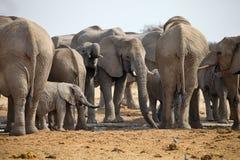 Flock av afrikanska elefanter på waterhole Etosha, Namibia Arkivfoto