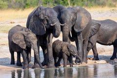 Flock av afrikanska elefanter, på waterholen i den Hwange nationalparken, Zimbabwe royaltyfria bilder