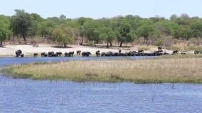 Flock av afrikanska elefanter som dricker från floden