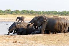 Flock av afrikanska elefanter som dricker på en lerig waterhole arkivbild