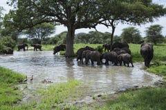 Flock av afrikanska elefanter som vadar in i flodvatten i det Tarangire området av Tanzania, Afrika arkivfoton
