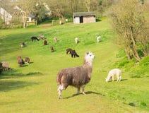 Flock av Alpaca i ett grönt fält i vår Arkivbilder