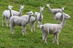Flock av Alpacas fotografering för bildbyråer