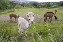 Flock av Alpacas i Sheffield, UK fotografering för bildbyråer