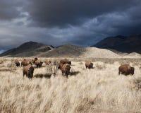 Flock av amerikanen Bison Buffalo på en stormig dag royaltyfri fotografi