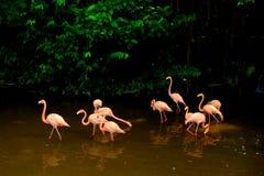 Flock av amerikanska flamingo 2 royaltyfri bild