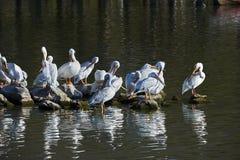 Flock av amerikanska vita pelikan Royaltyfria Foton