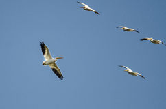Flock av amerikanska vita pelikan som flyger i en blå himmel Royaltyfria Foton