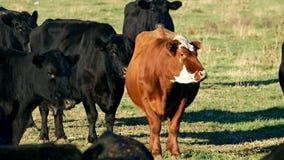 Flock av Angus Beef Cattle - en som är röd, och flera svart nötkreaturs- tugga bollen av idisslad föda arkivfilmer