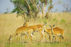 Flock av antilopen royaltyfria bilder