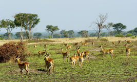 Flock av antilopen i Afrika fotografering för bildbyråer