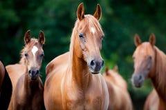 Flock av arabiska hästar royaltyfri fotografi