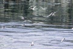 Flock av arktiska tärnor (bröstbenparadisaea) i flykten som jagar för Royaltyfria Bilder
