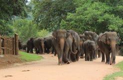 Flock av asiatiska elefanter fotografering för bildbyråer