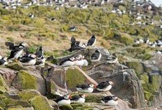 Flock av atlantiska lunnefåglar som bygga bo på klipporna på de Farne öarna Royaltyfri Bild