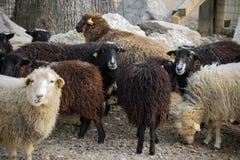 Flock av att äta för sheeps Arkivbilder