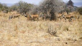 Flock av att beta för eland Royaltyfri Foto