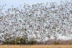 Flock av att flyga för gäss royaltyfria foton
