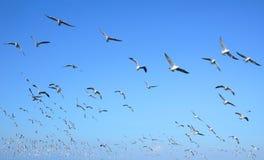 Flock av att flyga för seagulls arkivbilder