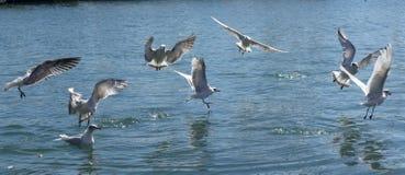 Flock av att flyga f?r seagulls royaltyfria foton