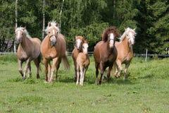 Flock av att köra för hästar royaltyfri foto