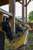 Flock av att mjölka kor som äter hö royaltyfri bild