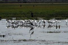 Flock av att putsa Spoonbills Royaltyfri Fotografi