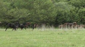 Flock av att skynda sig hästen på sätta in stock video