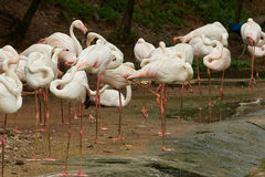 Flock av att vila för flamingo Arkivfoto