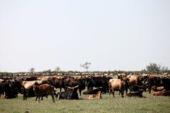 Flock av aurochsen Fotografering för Bildbyråer