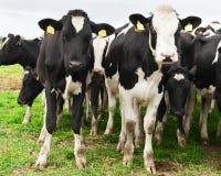 Flock av av frågvisa Holstein kor Arkivfoto