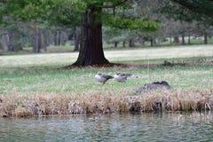 Flock av bönagåsen som flyger över det gröna fältet arkivbild