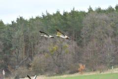 Flock av bönagåsen som flyger över det gröna fältet royaltyfria foton
